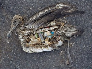 An albatross chick with a stomach fill of plastic items