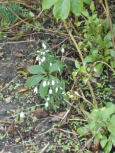 Snowdrops spotted on our walk into town-Spring is coming soon!